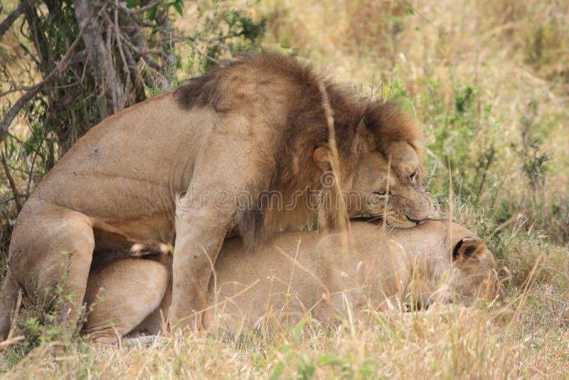 Lwa i lwicy kotelnia obrazy stock