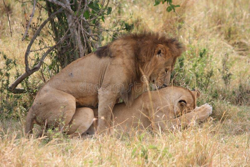 Lwa i lwicy kotelnia zdjęcie royalty free