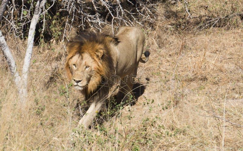 Lwa królewiątka odprowadzenie w Kruger parku narodowym zdjęcia stock