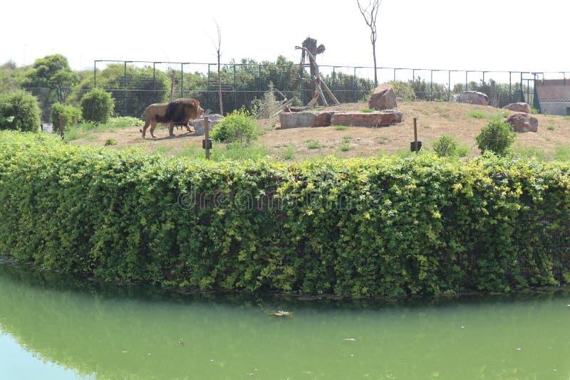 Lwa królewiątko w ogródzie zdjęcie stock