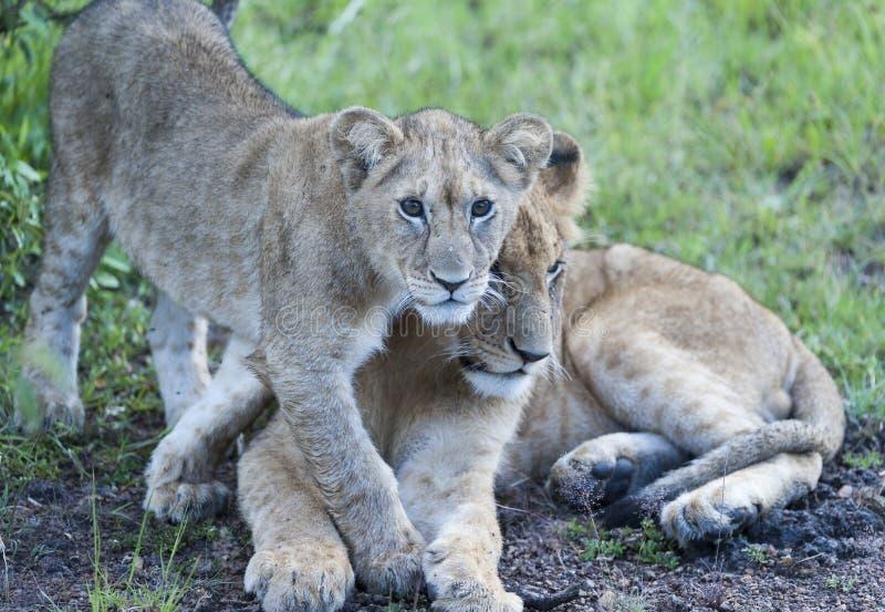 Lwa lisiątka dosunięcia matka na boku fotografia stock