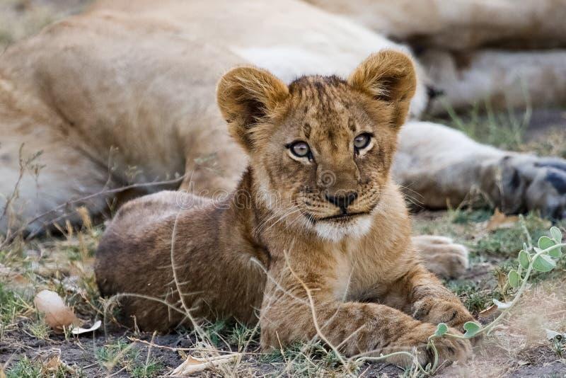 Lwa lisiątko odpoczywa jego matką zdjęcie royalty free