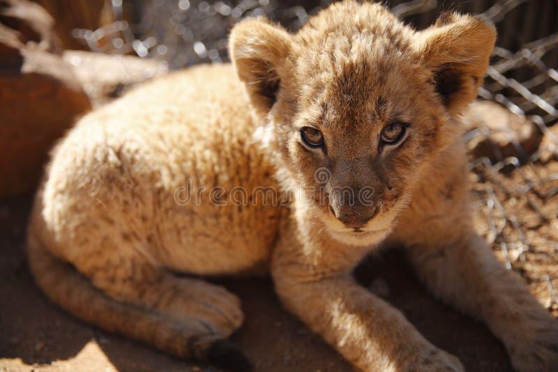 Lwa lisiątko przy lwa parkiem w Południowa Afryka fotografia stock