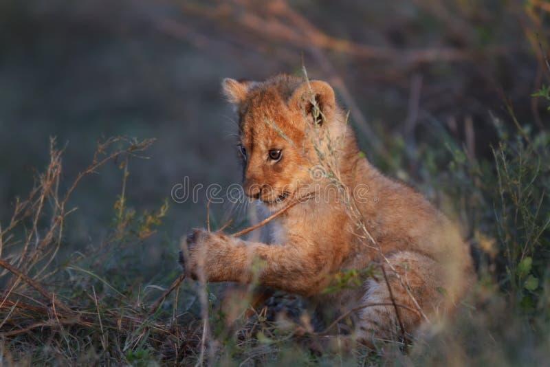 Lwa lisiątko, Serengeti obraz stock
