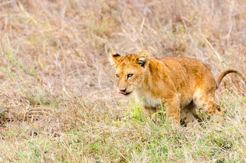 Lwa lisiątko, Serengeti park narodowy fotografia stock