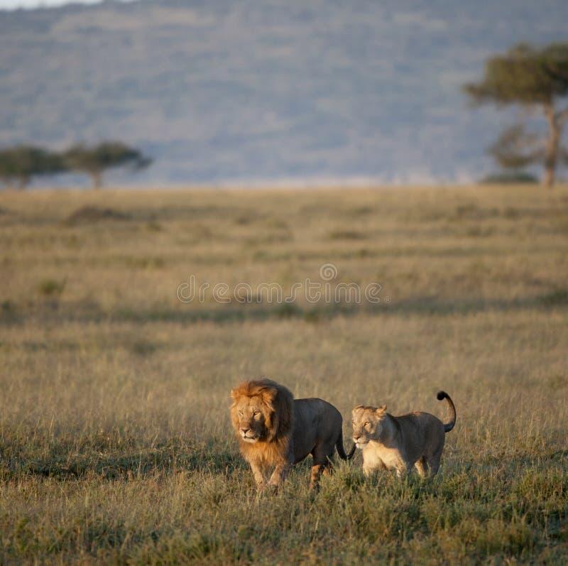 lwa lwicy park narodowy serengeti zdjęcia stock