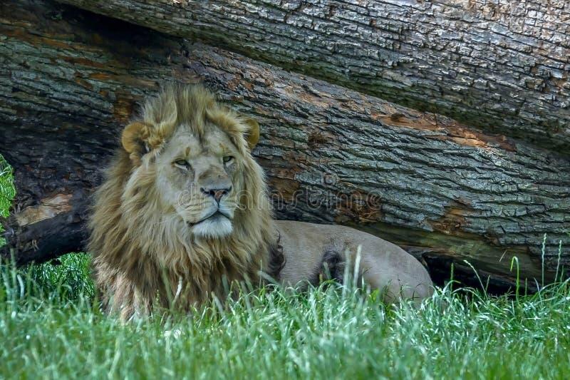 Lwa Odpoczywać fotografia royalty free
