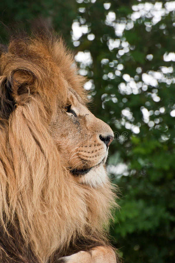Lwa Panthera Leo duży kot obrazy stock