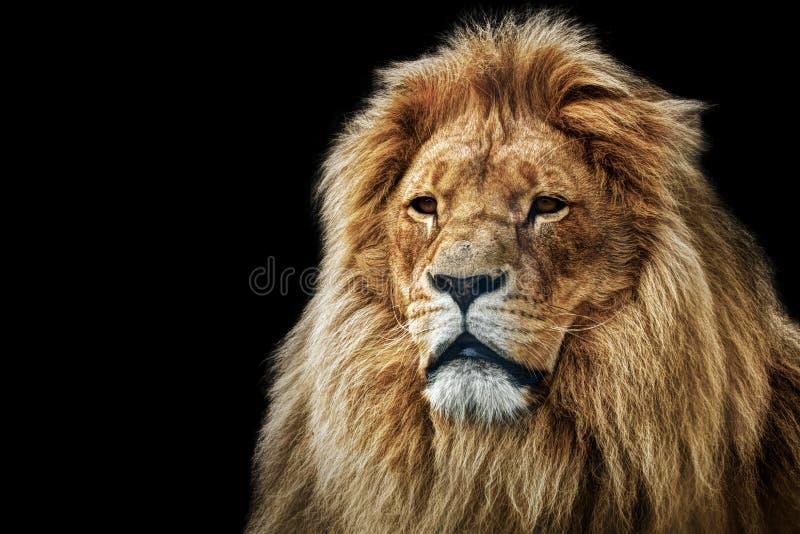 Lwa portret z bogatą grzywą na czerni fotografia royalty free