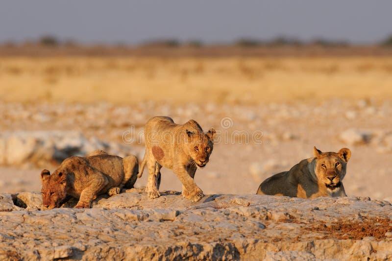 Lwa rodzinny pić na waterhole, etosha nationalpark, Namibia fotografia royalty free