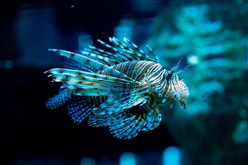 Lwa rybi dop?yni?cie W basenie nadwodni gatunki Lew ryba ?miertelnego jad obraz stock