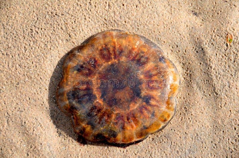 Lwa ` s grzywy jellyfish obrazy royalty free