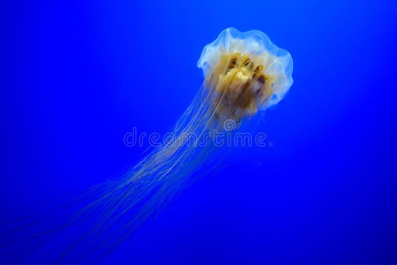 Lwa ` s grzywy jellyfish zdjęcia stock