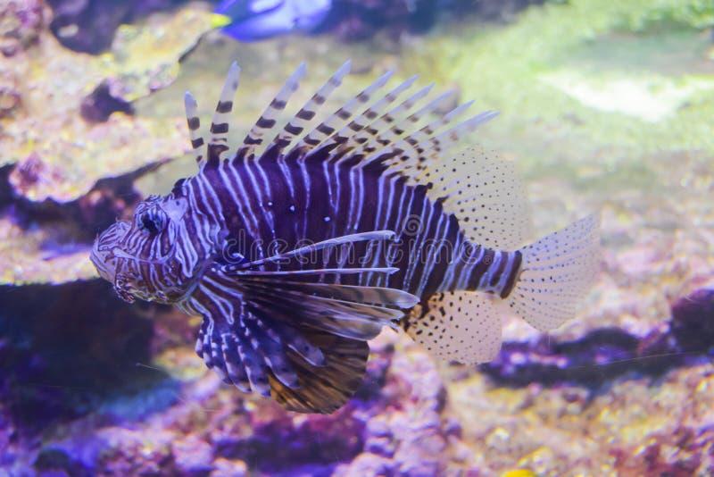 Lwa ` s skorpionu ryba fotografia stock