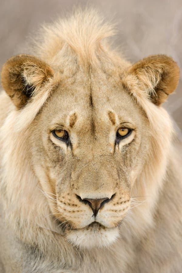 lwa samiec potomstwa zdjęcia stock