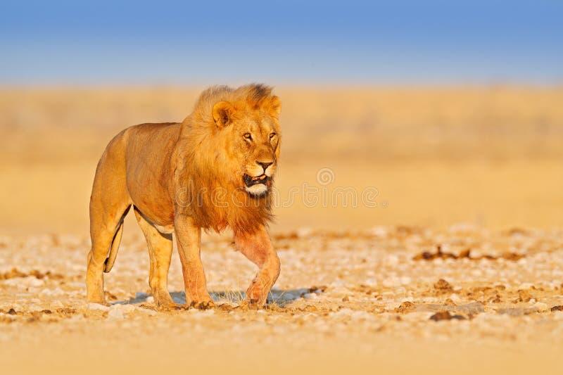 Lwa spacer Portret Afryka?ski lew, Panthera Leo, szczeg?? duzi zwierz?ta, Etocha NP, Namibia, Afryka Koty w suchym natury siedlis obraz stock