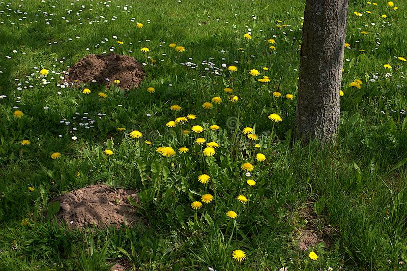 Lwa ząb Ogródu i gazonu właściciele no lubią łąkowego kwiatu obraz stock