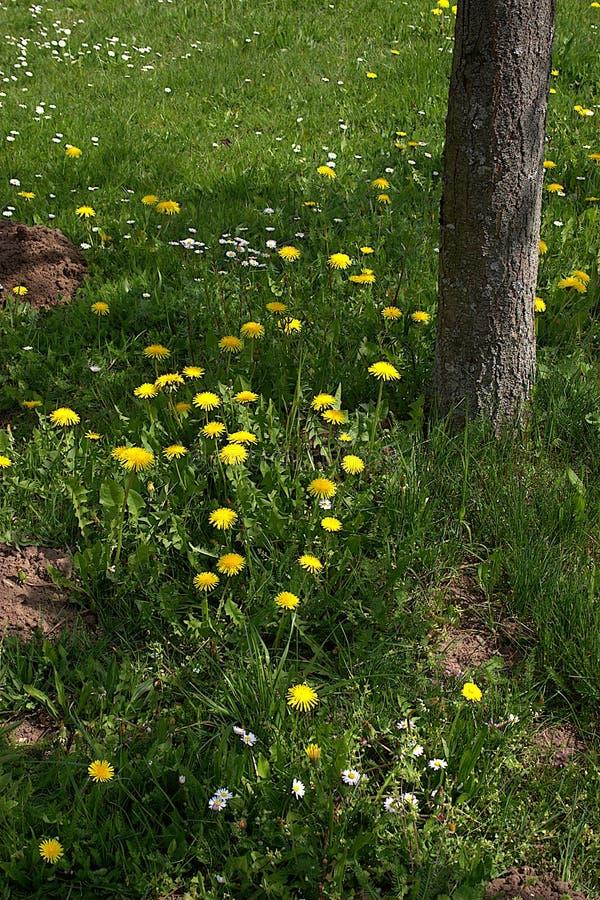 Lwa ząb Ogródu i gazonu właściciele no lubią łąkowego kwiatu obrazy royalty free