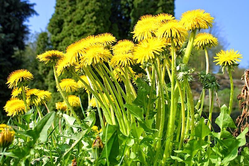 Lwa ząb Ogródu i gazonu właściciele no lubią łąkowego kwiatu zdjęcia royalty free