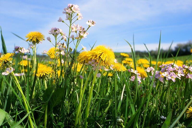 Lwa ząb Ogródu i gazonu właściciele no lubią łąkowego kwiatu fotografia stock