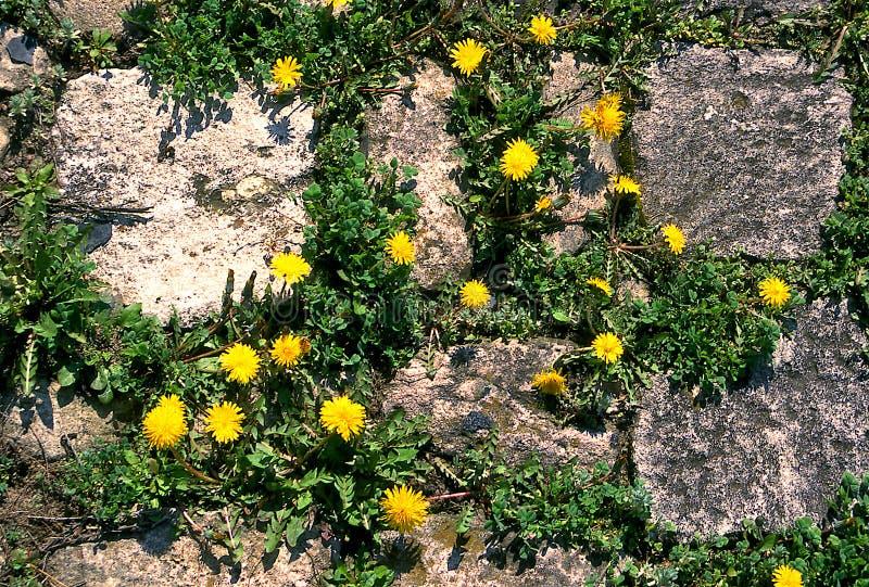 Lwa ząb Ogródu i gazonu właściciele no lubią łąkowego kwiatu zdjęcia stock