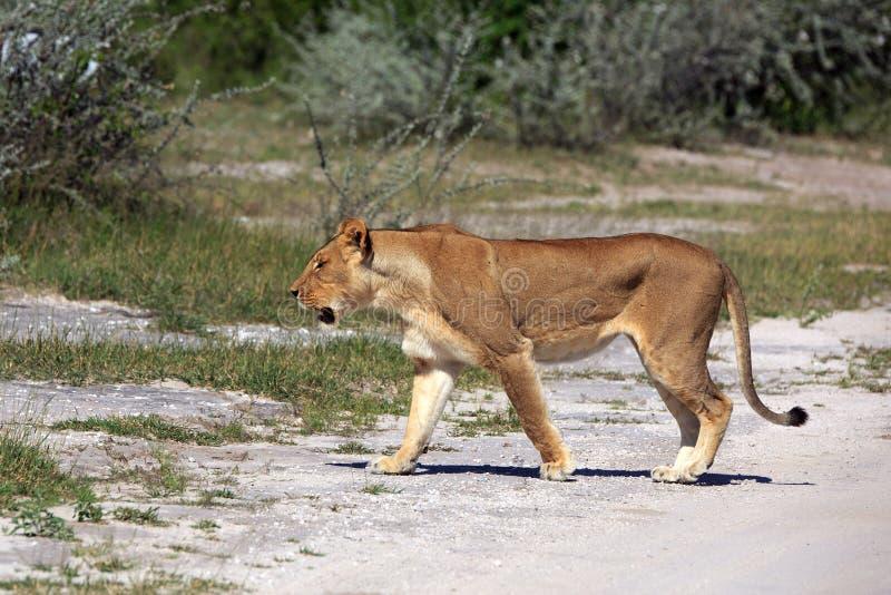 lwica zdjęcia stock