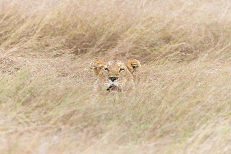 Lwica chująca w długiej trawie Masai Mara zdjęcia stock