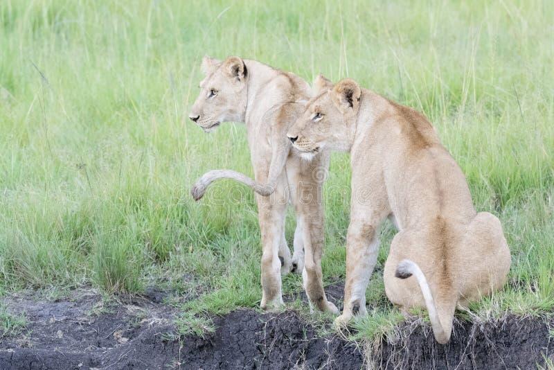 Lwica, dwa na sawannie wpólnie zdjęcia royalty free