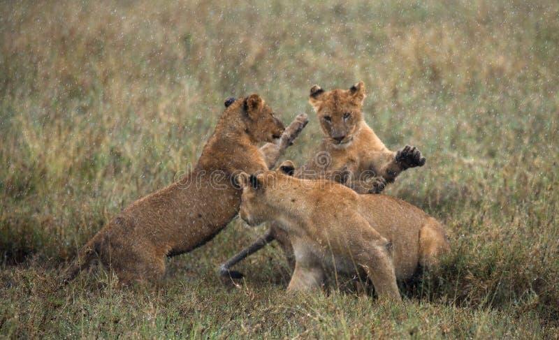 Lwica i jej lisiątka bawić się z each inny w sawannie Park Narodowy Kenja Tanzania mara masajów kmieć obraz stock