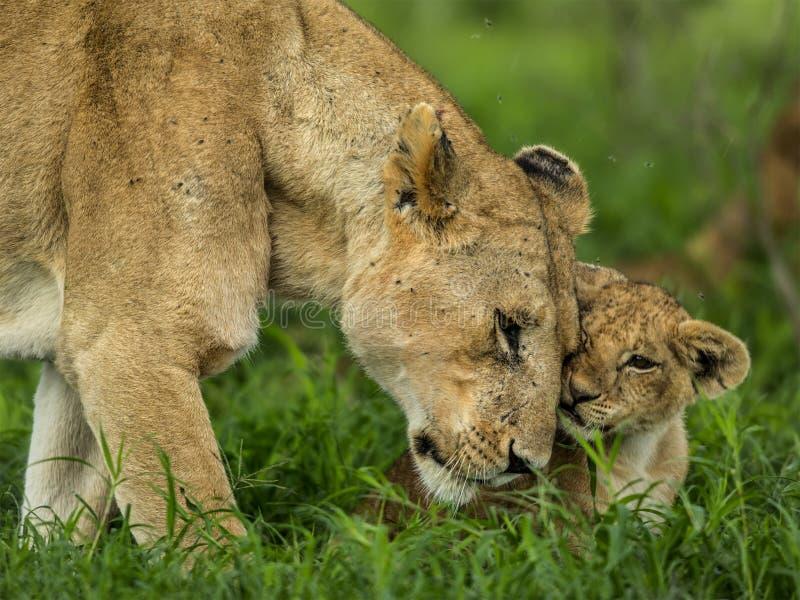 Lwica i lisiątko cuddling, Serengeti obrazy stock