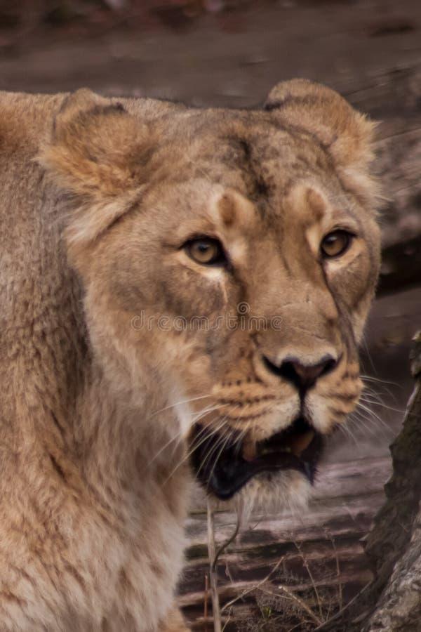 Lwica jest zdumiona, jej twarz wyraża zdumienie, wątpliwość fotografia stock