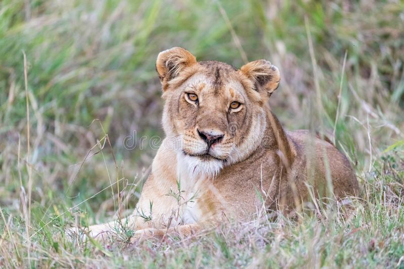 Lwica kłaść w długiej trawie Masai Mara obrazy royalty free