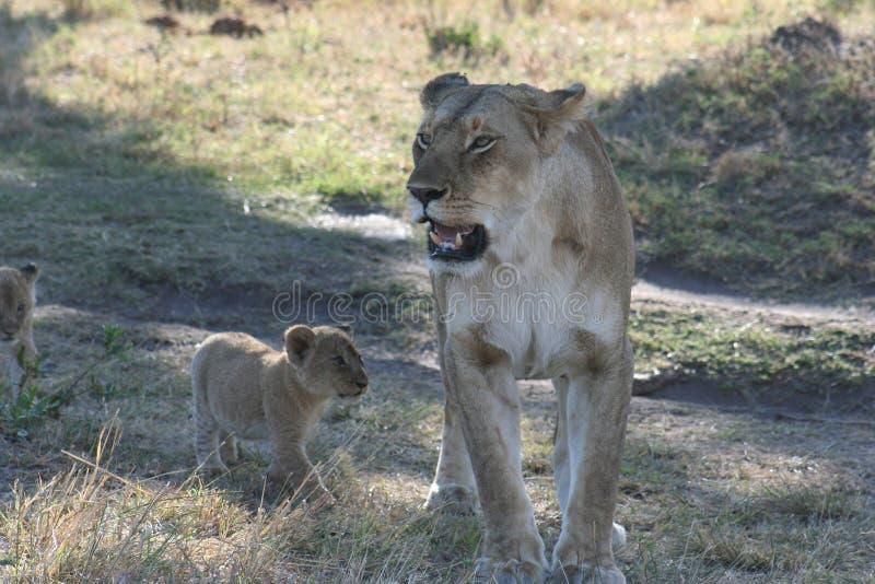 Lwica LeoSimba w suahilijczykach Językowych i jej CubPanthera fotografia royalty free