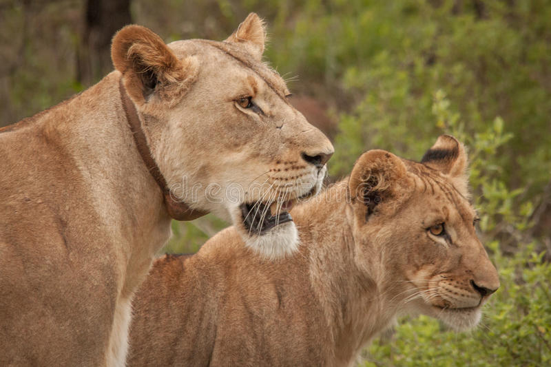 Lwica Nambiti zdjęcie royalty free