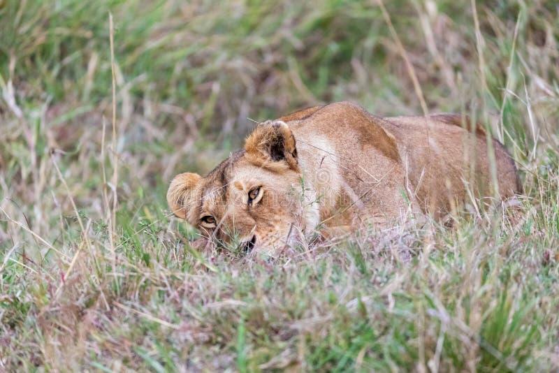 Lwica odpoczywa w długiej trawie Masai Mara zdjęcia stock