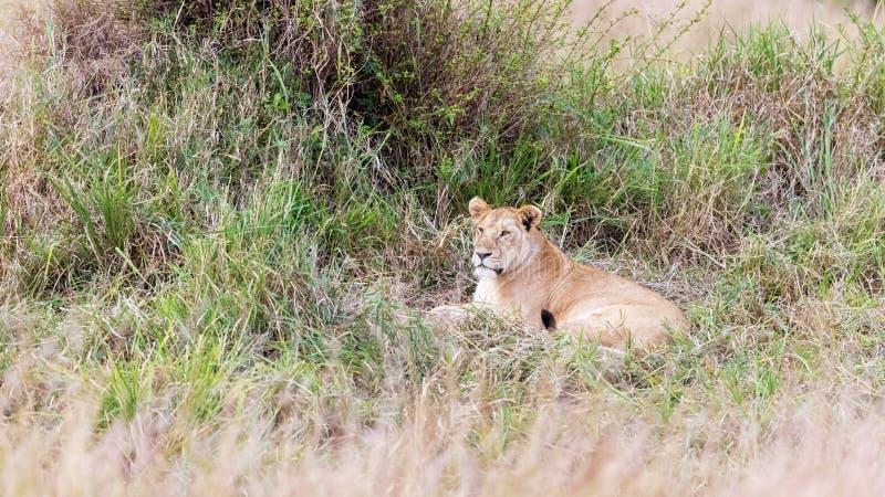 Lwica odpoczywa w długiej trawie Masai Mara zdjęcie stock