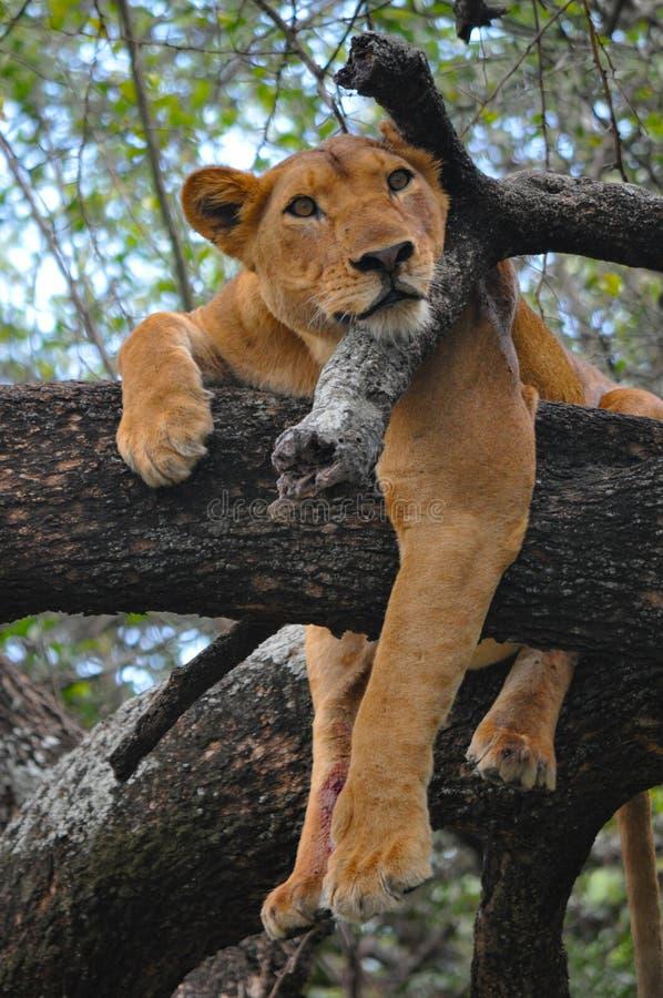 Lwica w drzewie w jezioro parku, Tanzania obrazy royalty free