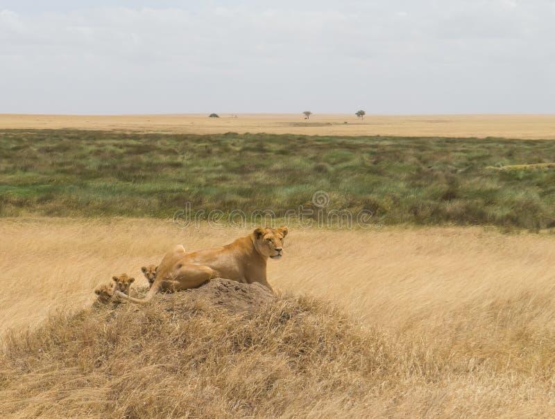 Lwica w Serengeti krajobrazie zdjęcia royalty free