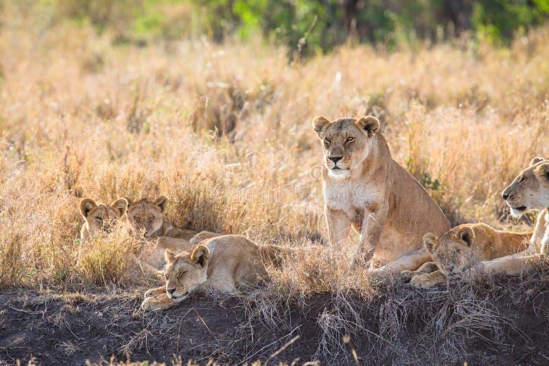 Lwica z jej lisiątkami obrazy stock