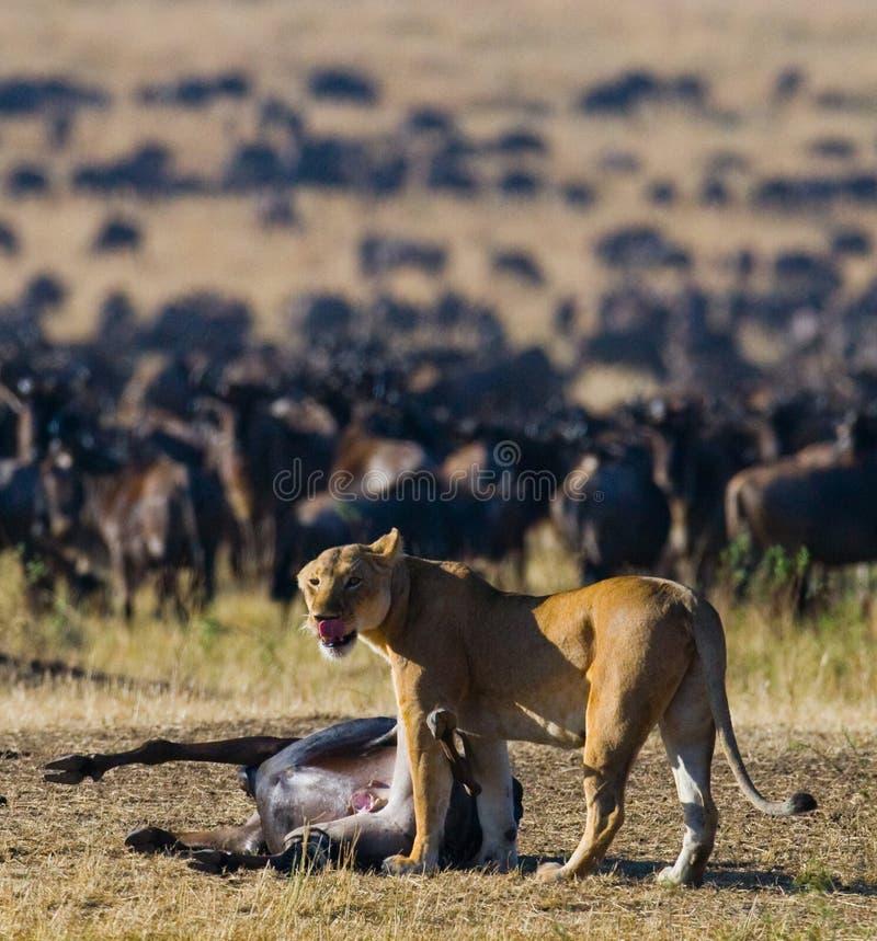 Lwica zabił wildebeest Wielką migrację Kenja Tanzania Masai Mara park narodowy zdjęcia stock