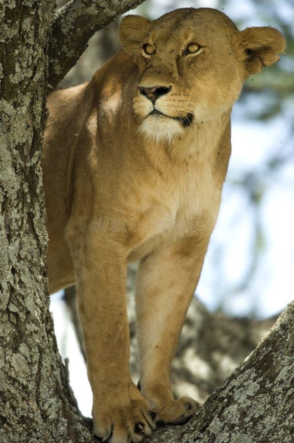 lwicy drzewo obraz stock