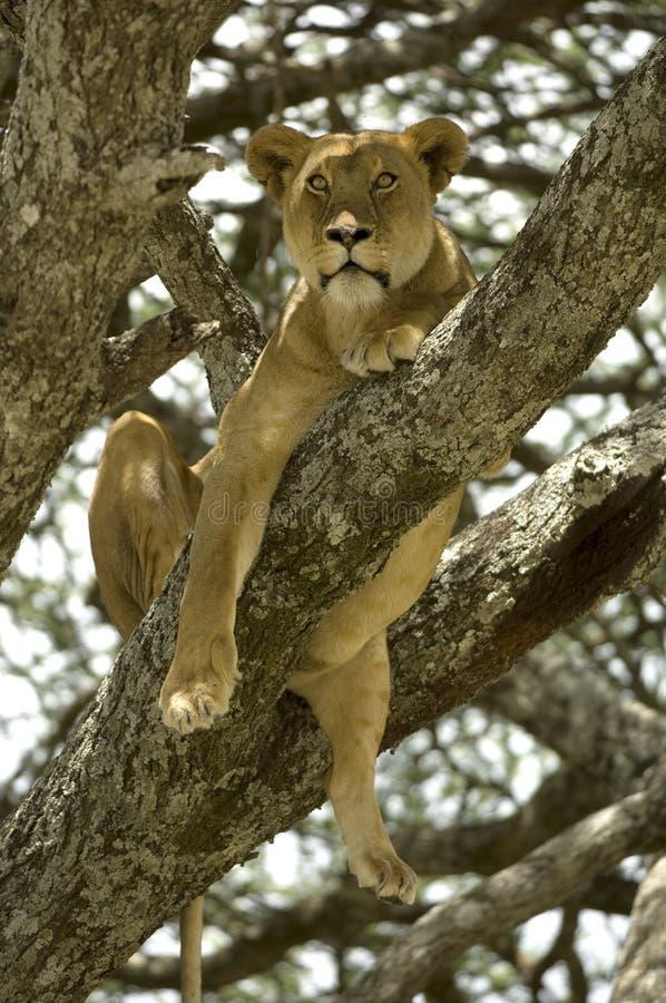 lwicy drzewo fotografia stock