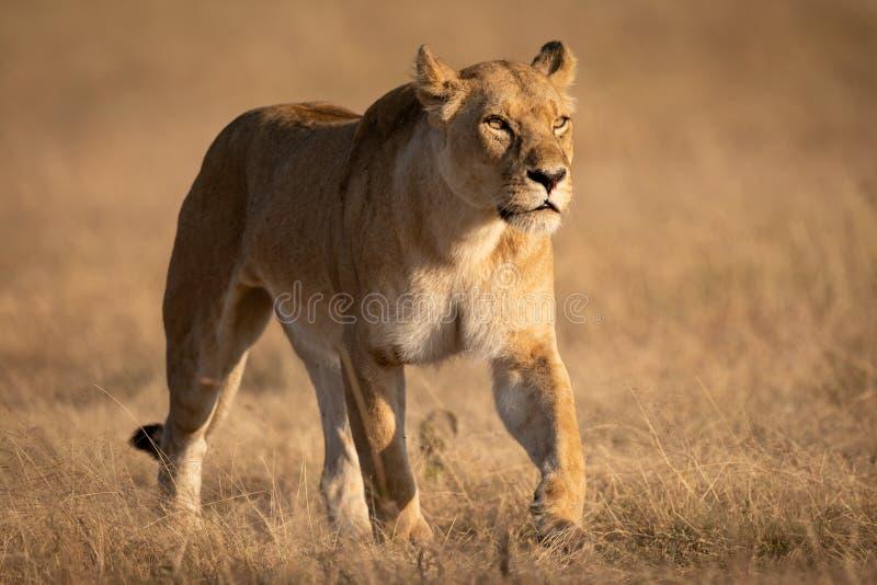Lwicy odprowadzenie na krótkiej trawie patrzeje naprzód zdjęcia stock