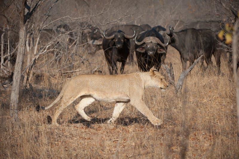 Lwicy odprowadzenie przez suchej trawy podczas gdy stado bizonów zegarki przezornie obrazy stock