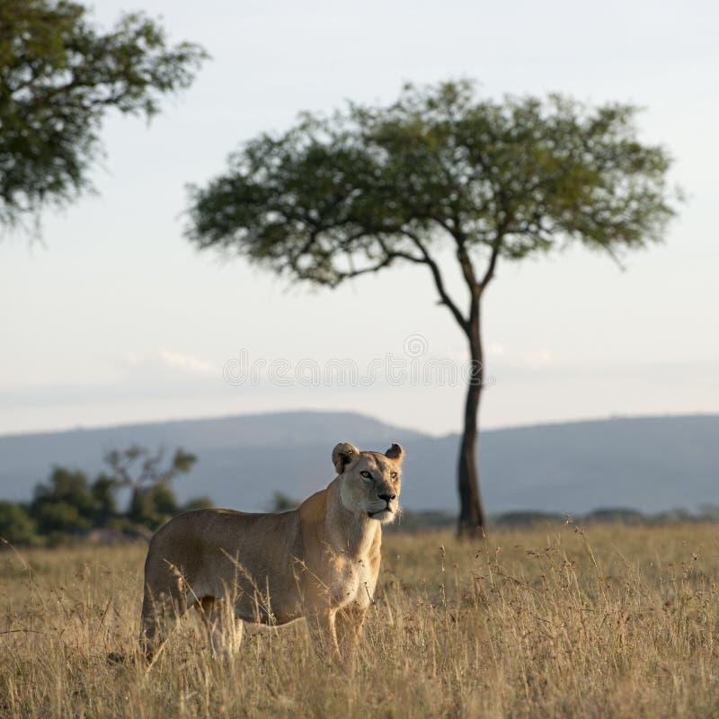 lwicy park narodowy serengeti zdjęcia stock
