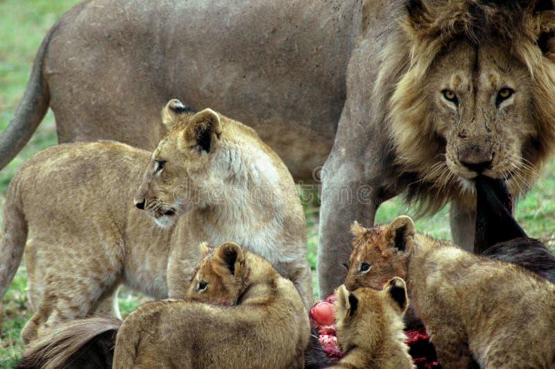 lwy zdjęcie stock