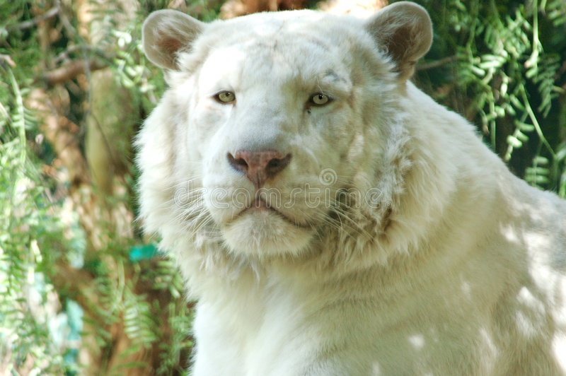 Lwy 3 White Obrazy Royalty Free