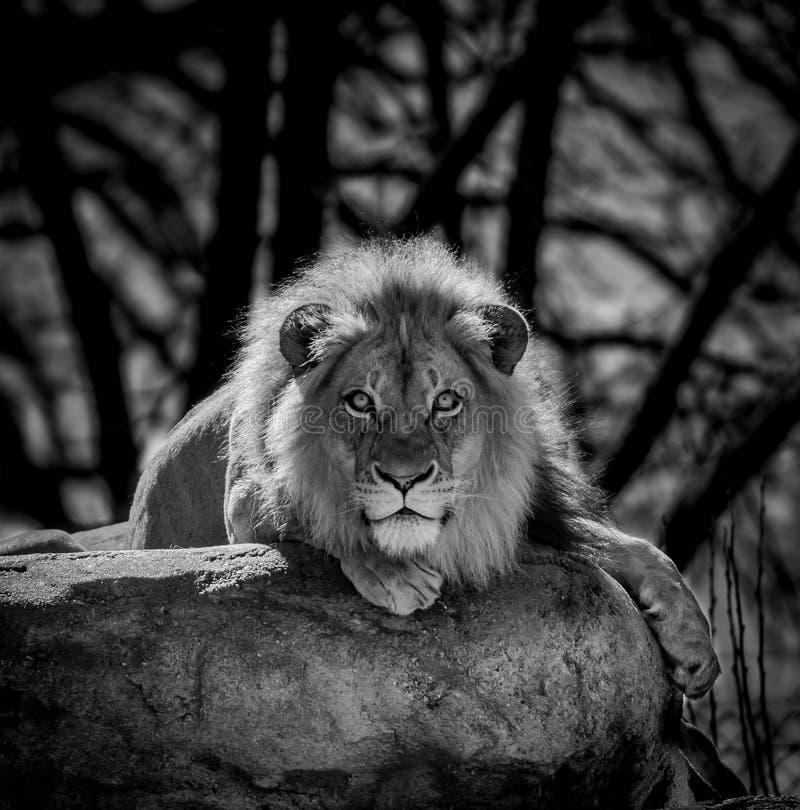 Lwy Gapią się Czarny I Biały zdjęcia royalty free
