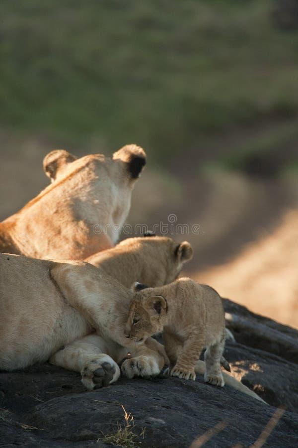 Lwy i lisiątka w Maasai Mara, Kenja obraz stock