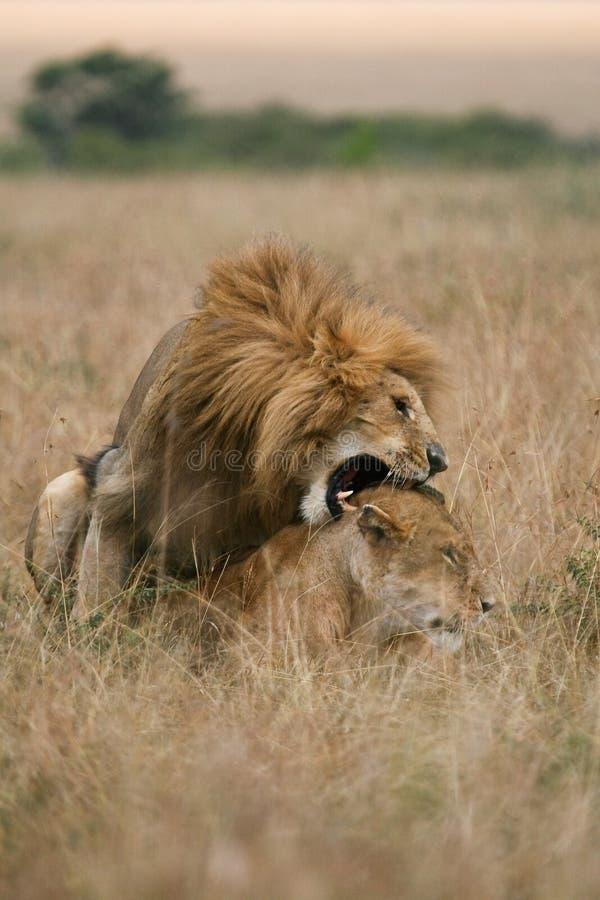 lwy krycia zdjęcia stock